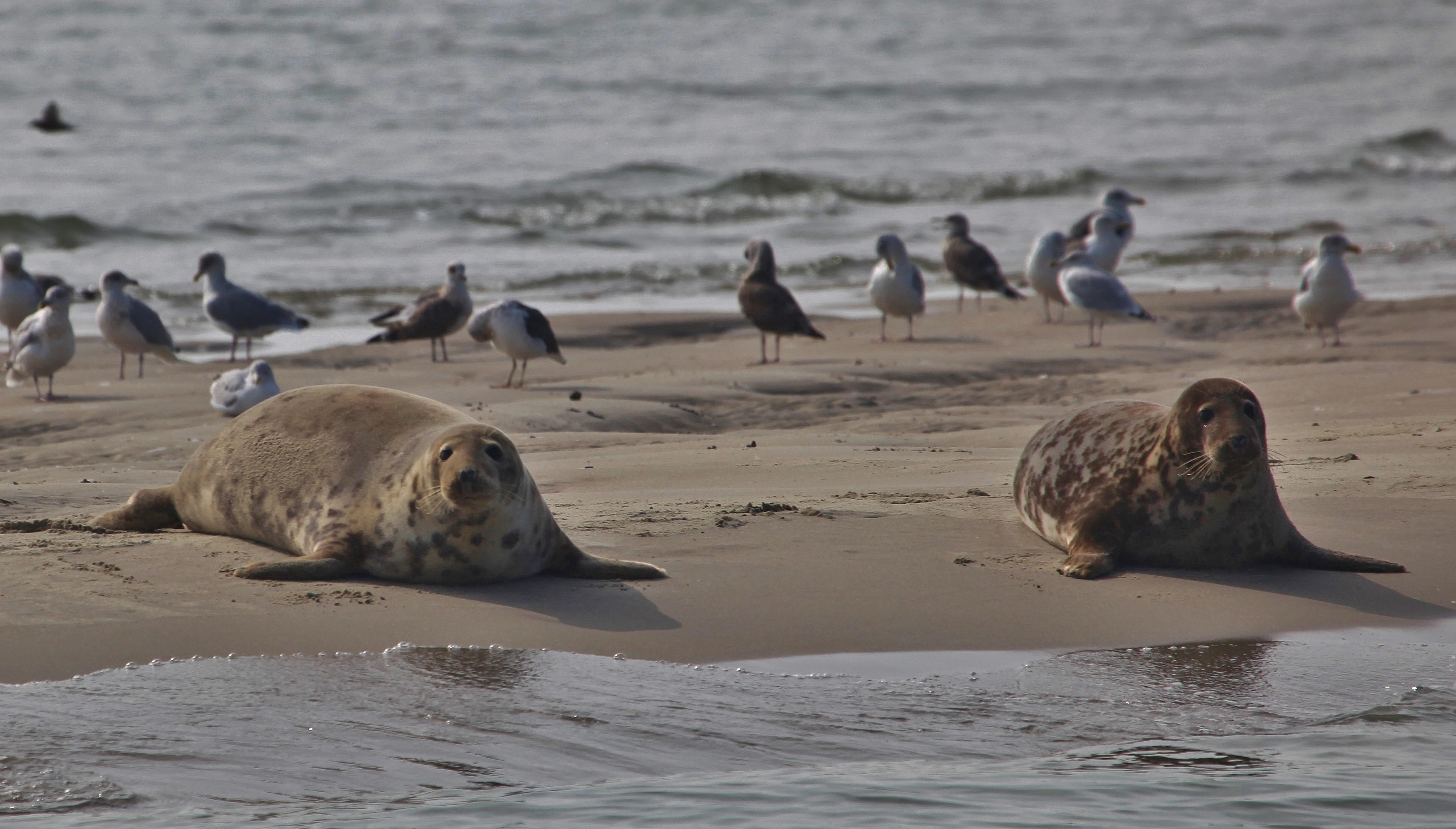 zeehonden in de Voordelta